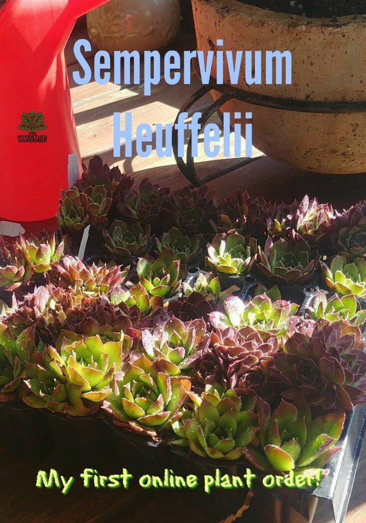 My first online plant order - I had to have Sempervivum heuffelii