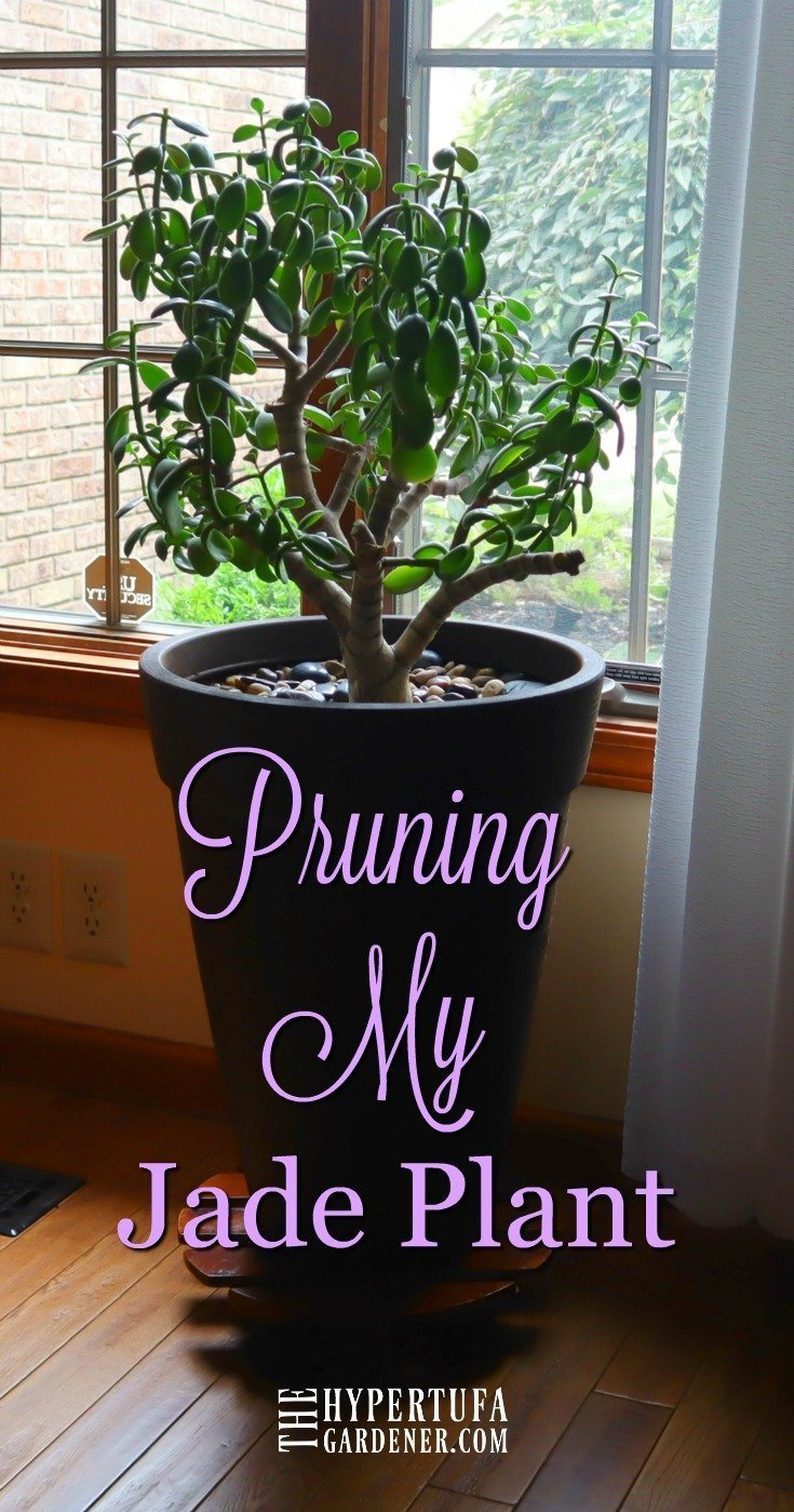 Pruning My Jade Plant - Important for great jade plant care