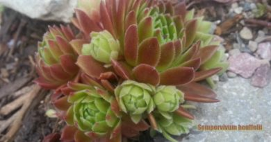 Sempervivum heuffelii - Grow by crown division