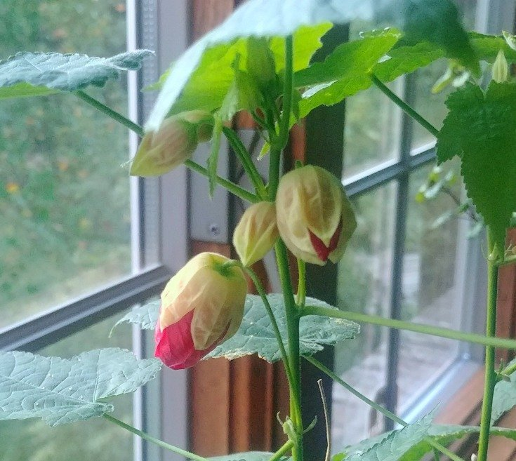 Buds on the flowering maple - houseplant care