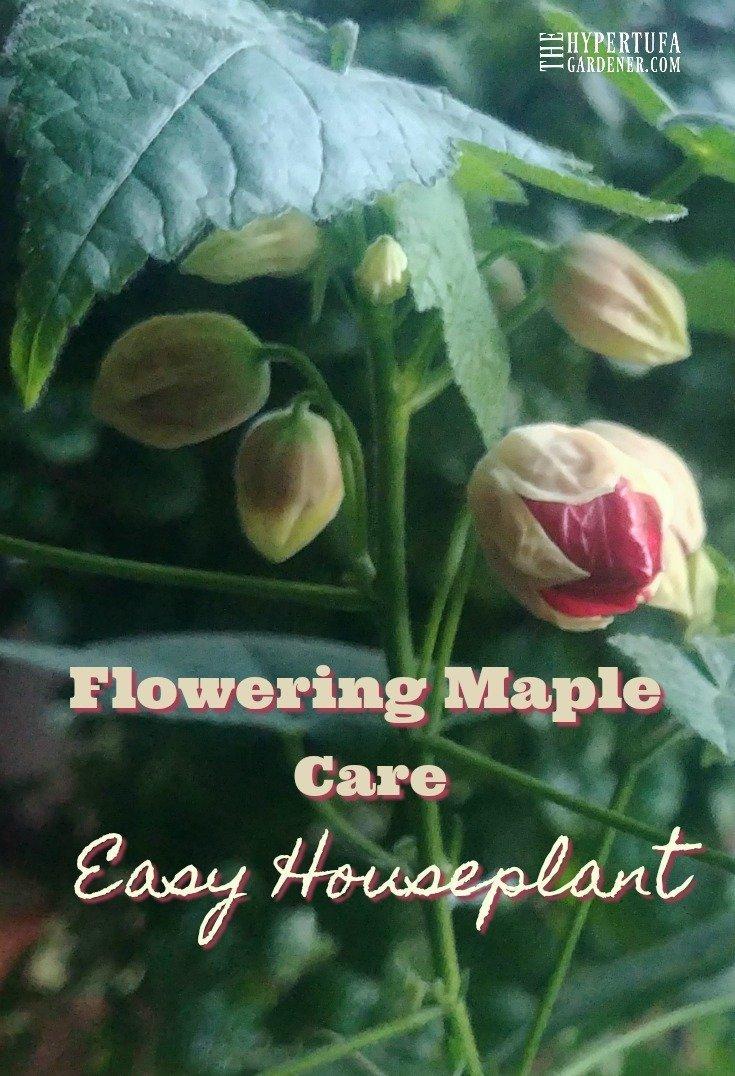 Easy Houseplant - Flowering Maple or Chinese Lantern Plant