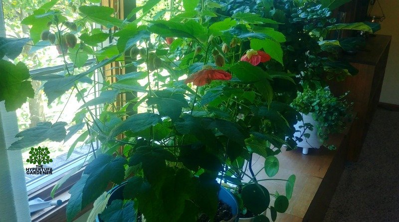 Great houseplant - Easy Flowering Maple Care