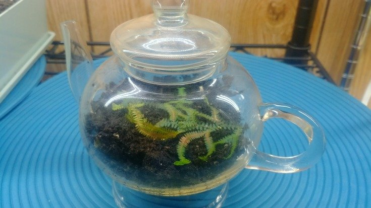 Peacock fern rooting in a misty teapot