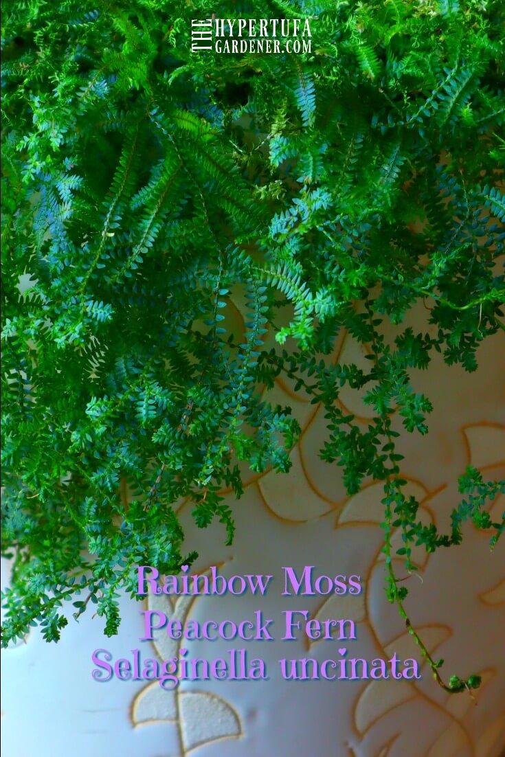 Pea Fern or Rainbow Moss - Got One! - Cross That Off ... Rainbow Fern Houseplant on fern diagram, fern baskets, fern care, fern identification by leaf, fern variety, fern fiddleheads with brown scales, fern design, fern foxtail lily, fern assortment, fern scientific name, fern identification guide, fern container gardening, fern bonsai, fern plants, fern flowering shrubs, fern growing conditions, fern id, fern foliage, fern propagation,