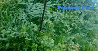 Selaginella uncinata or Peacock Fern