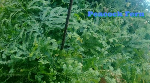 Peacock Fern or Rainbow Moss – Got One! – Cross That Off Bucket List!