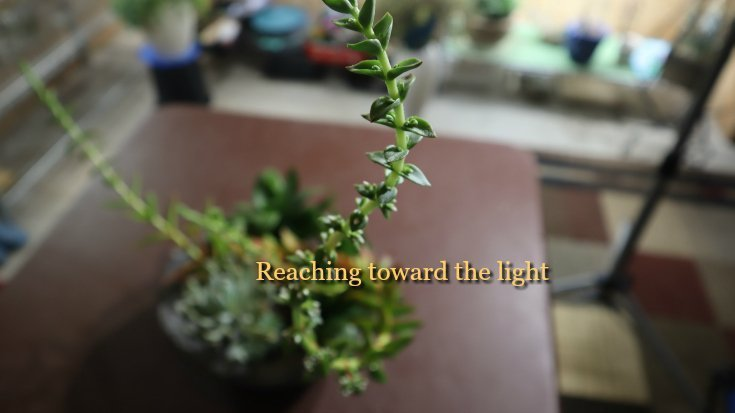 The plant is etiolated - stretching toward the light