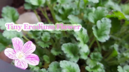 Moving Inside For Winter – An Erodium Houseplant This Year