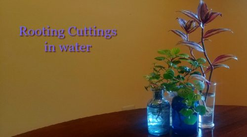 Rooting Cuttings In Water – How Soon Into Soil?