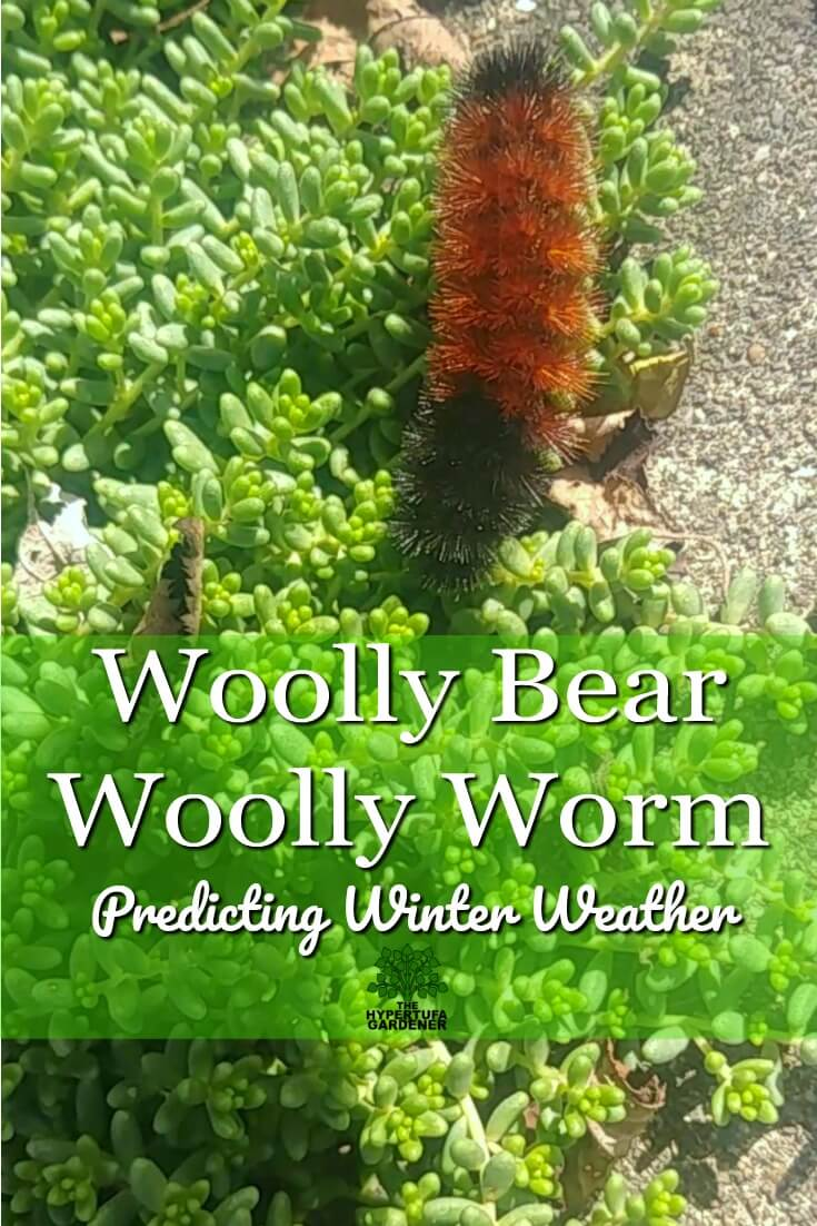 Pin image for woolly bear or woolly worm