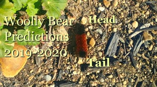 Another Woolly Bear Caterpillar Winter Prediction?