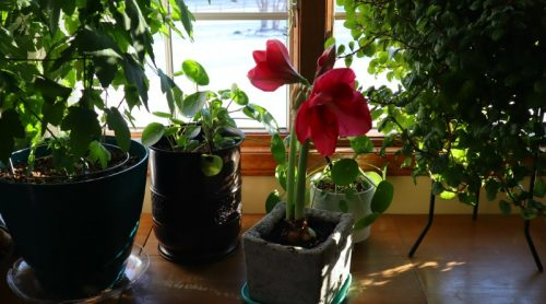 Amaryllis Bulb Growing and Blooming – And I Am Transplanting Her!