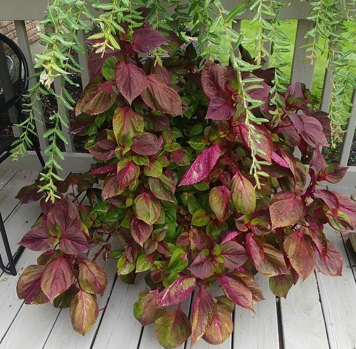 image of coleus plant