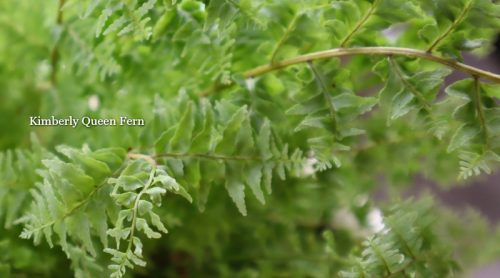 Kimberly Queen Fern -Grows Well Inside in A Glass Terrarium, But She Needs More Room, Let's Repot