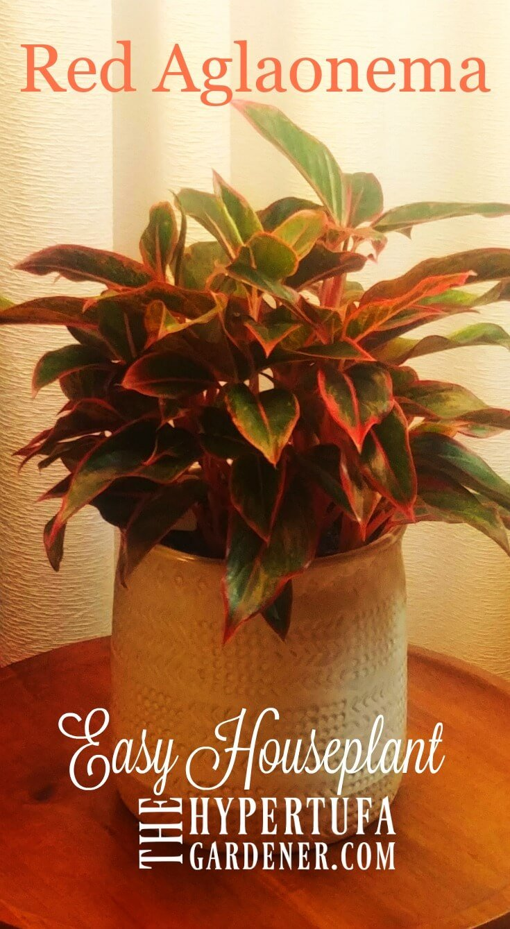 image of chinese evergreen or red agleonema