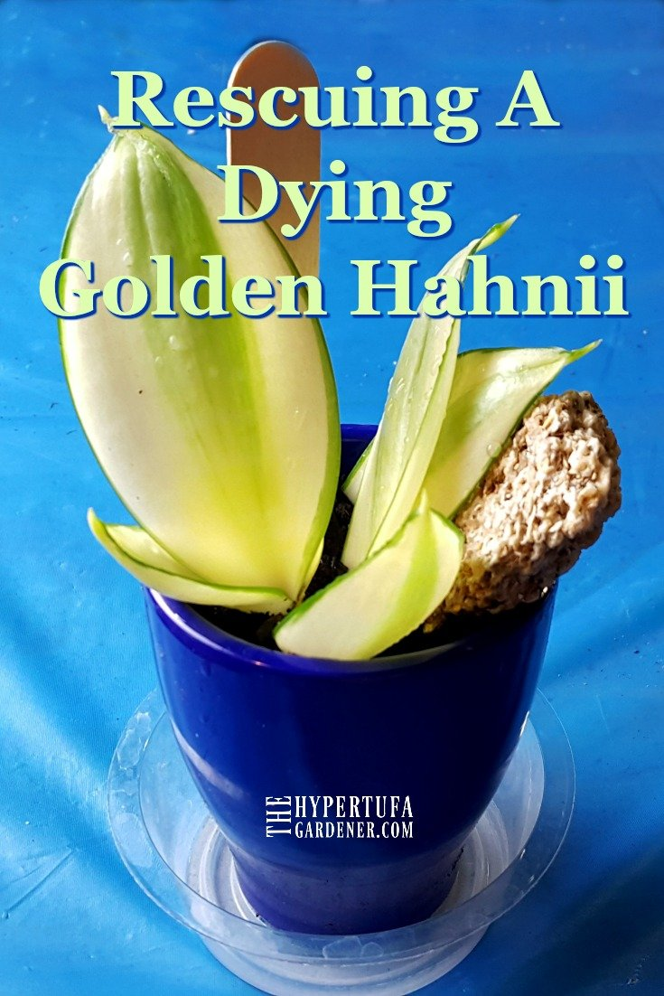 image of propagating Golden Hahnii