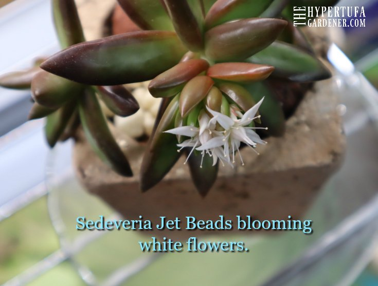 image of jet beads blooming