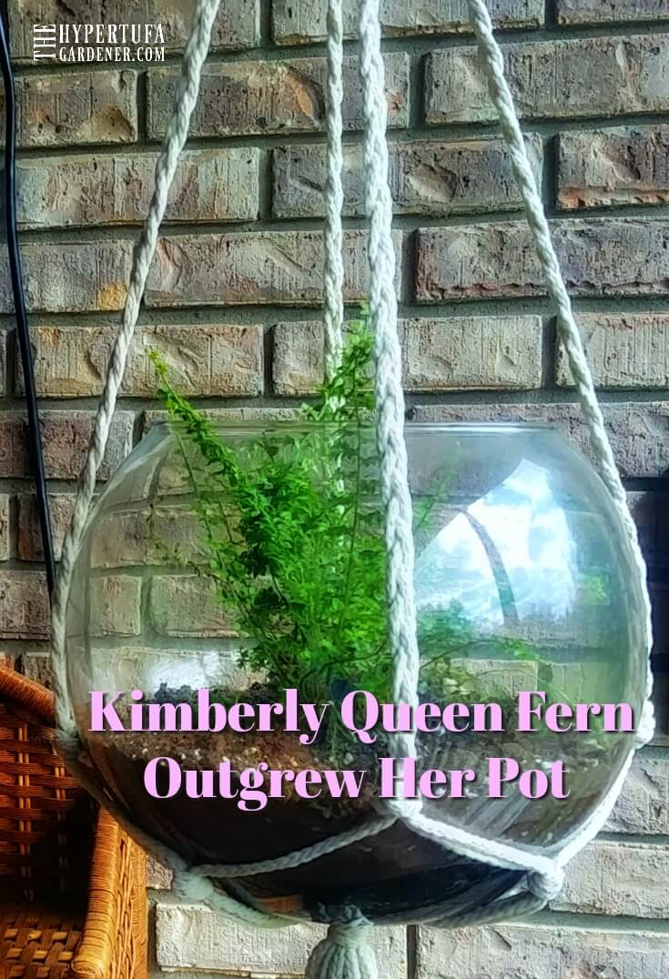 image of kimberly queen fern