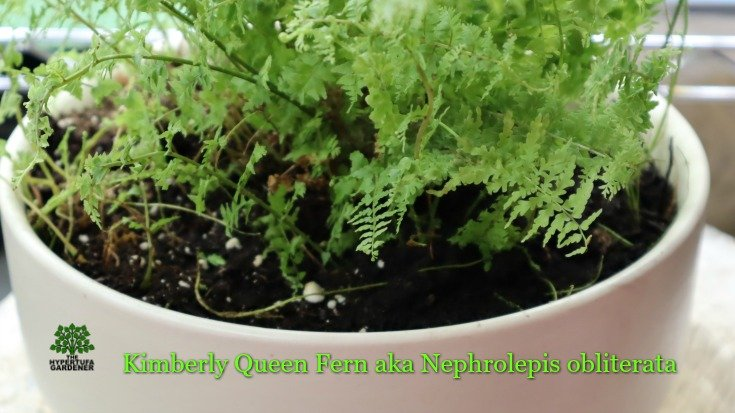 image of Kimberly Queen Fern aka Nephrolepis obliterata