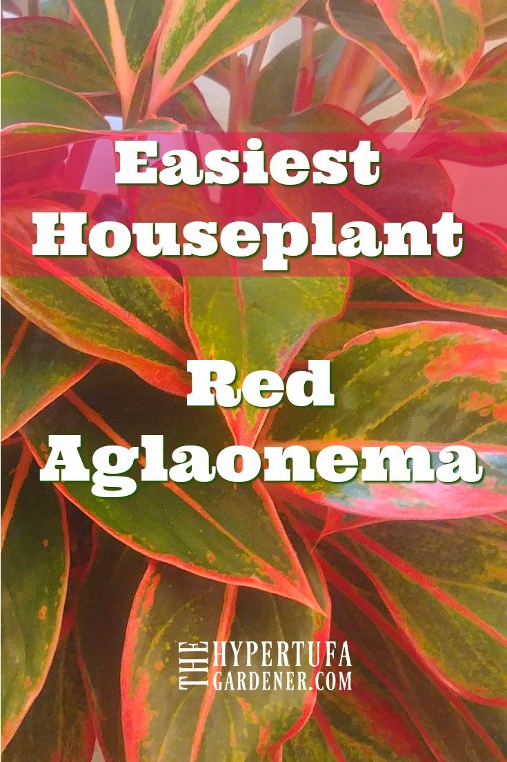 image of red aglaonema