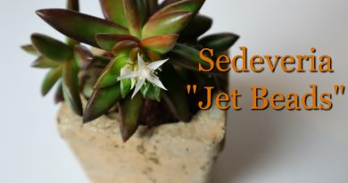 photo of sedeveria jet beads