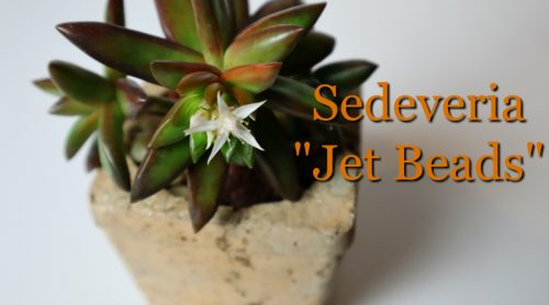 Sedeveria Jet Beads Are Blooming – But Not The Right Color?
