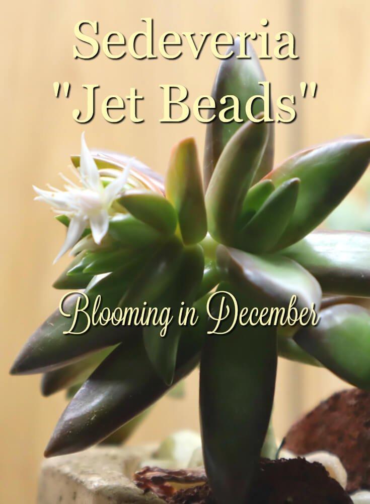 phot of sederveria jet beads