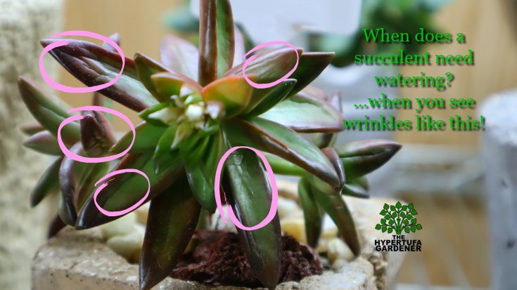 image showing succulent needs water