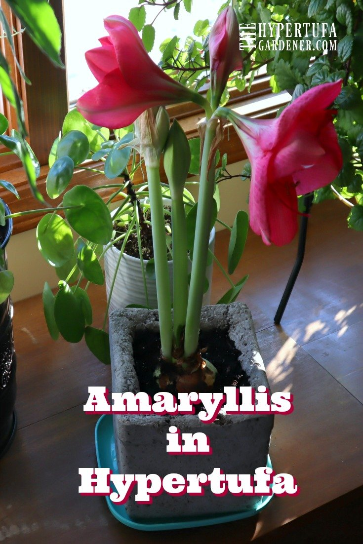 imageof amaryllis with many blooms