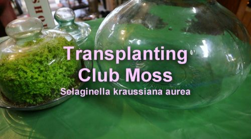 My Club Moss Is Outgrowing Its Cheese Dome Garden. Let's Transplant Club Moss.