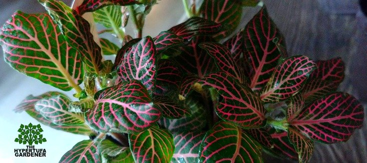 image of red fittonia