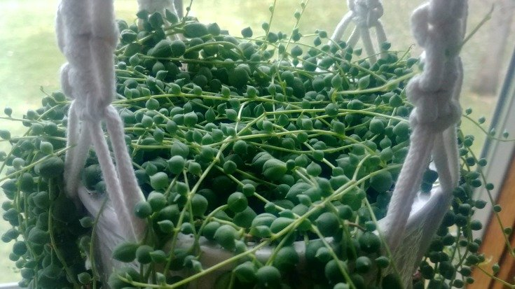 image of string of pearls houseplant
