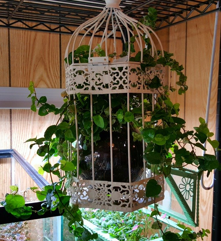 image of creeping fig in birdcage planter