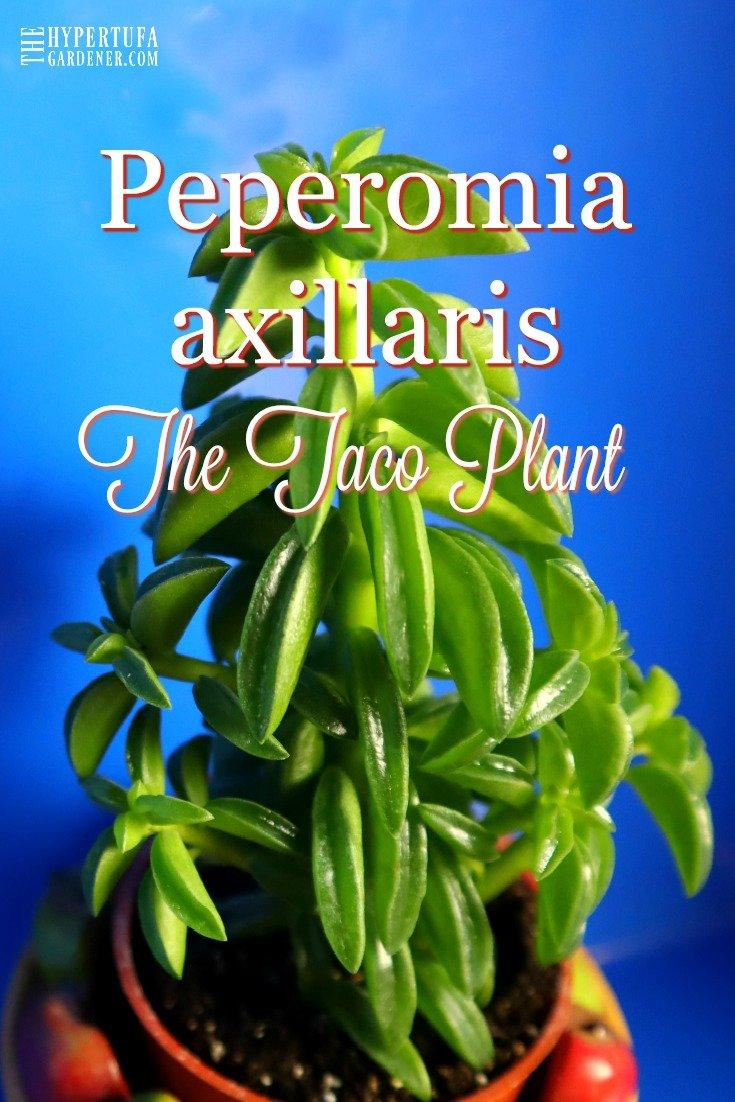 image of taco plant
