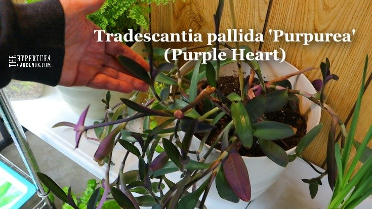 image of Tradescantia Purple Heart