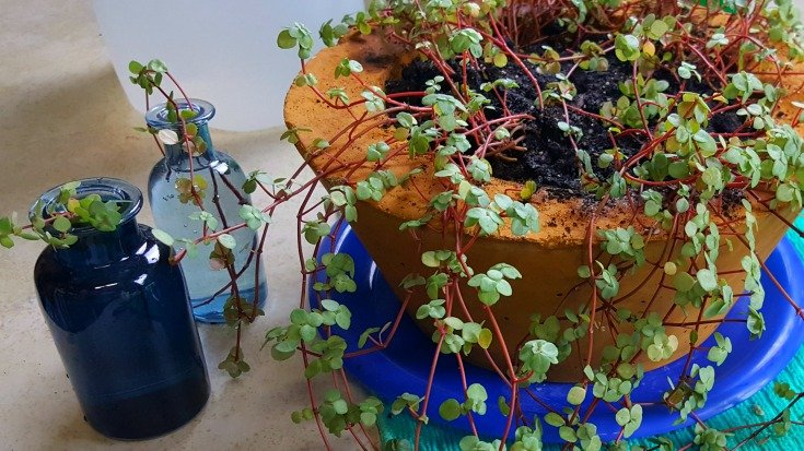 image of cuttings rooting