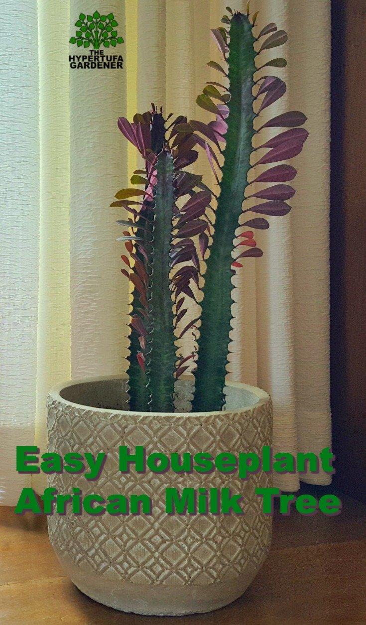 image of houseplant African milk tree