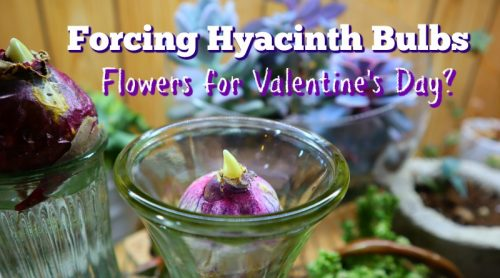 Forcing Hyacinth Bulbs Now? Just Do It In Water or Pebbles