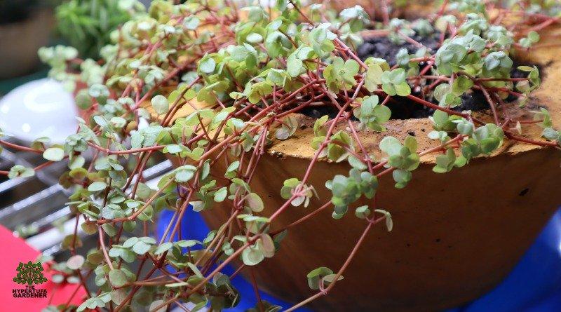 image of pilea glauca houseplant in hypertufa