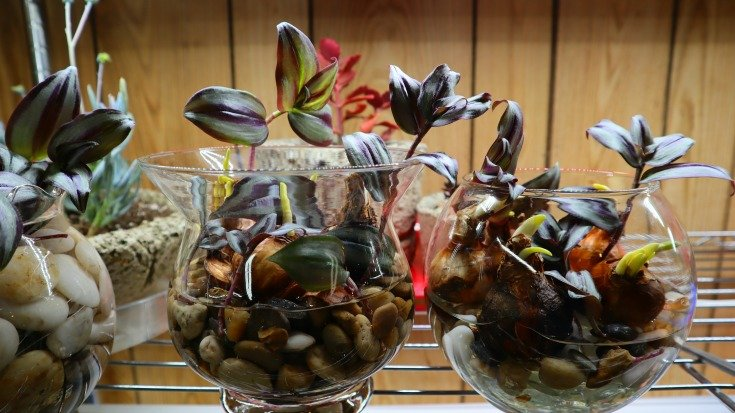 bulbs and wandering jew plant in water