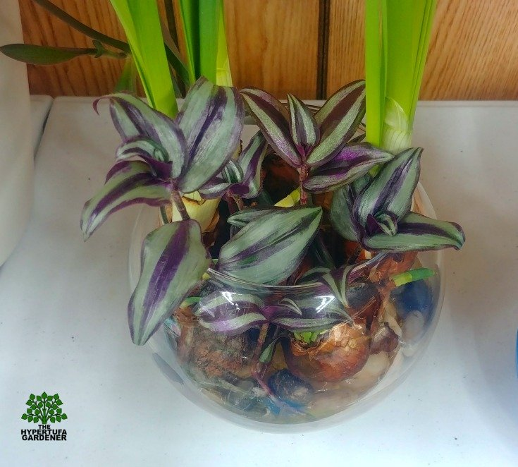 image of stem cuttings of wandering jew
