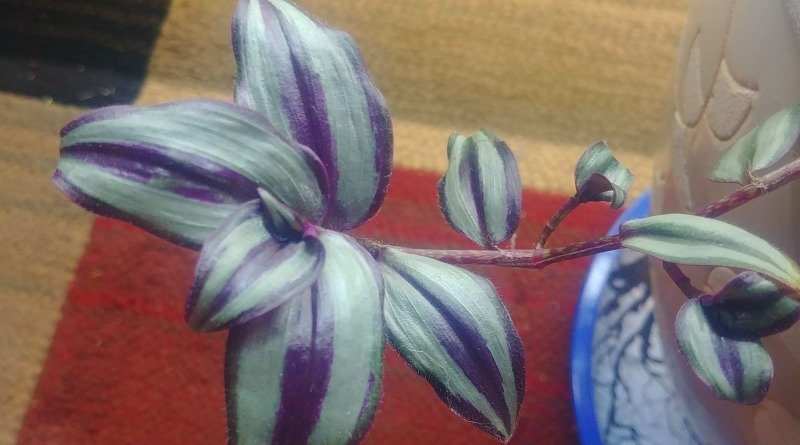 image of stem of wandering jew