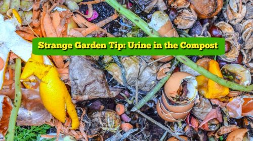 Urine in The Garden & Compost?  Yes, Let's Go There!
