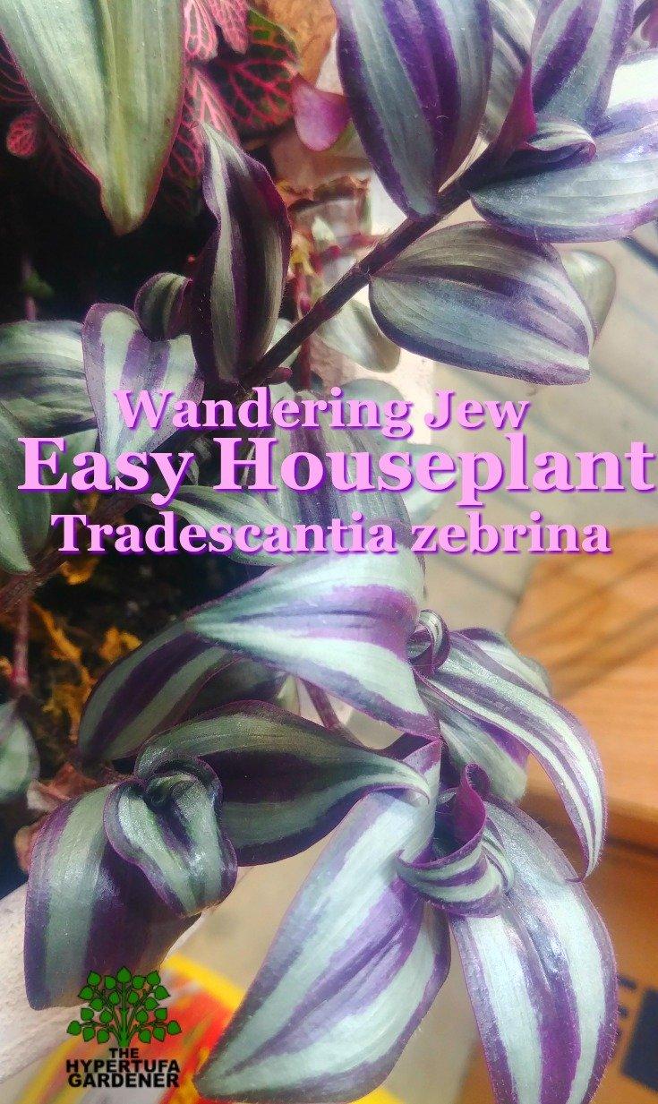 image of wandering jew houseplant