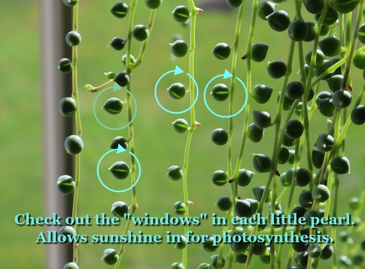 image of the windows in String of Pearls