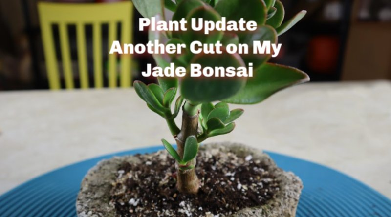 image of tiny bonsai jade
