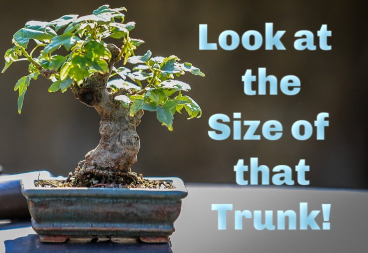 image of Bonsai with huge trunk