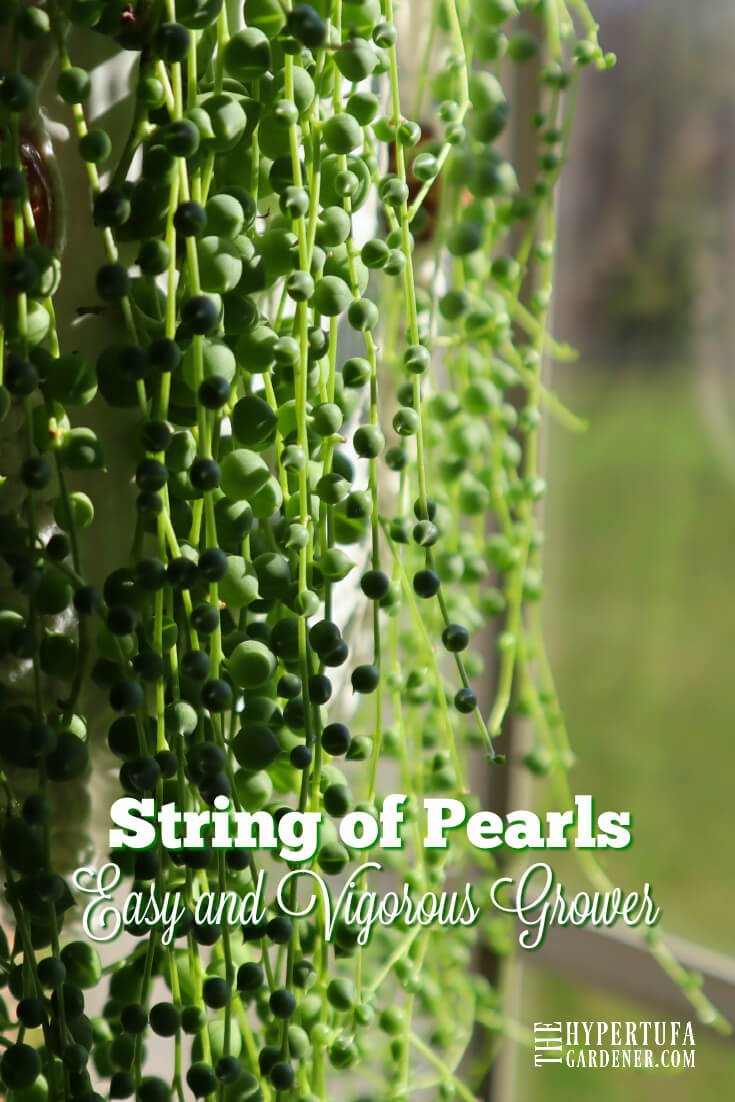 String Of Pearls Care Propagation More Plants For Hypertufa Pot Fillers The Hypertufa Gardener