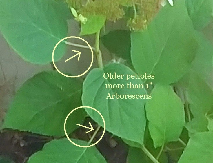 photo of leaf stems used to id the type of hydrangea