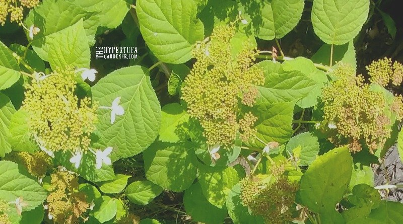 image of blooming hydrangea